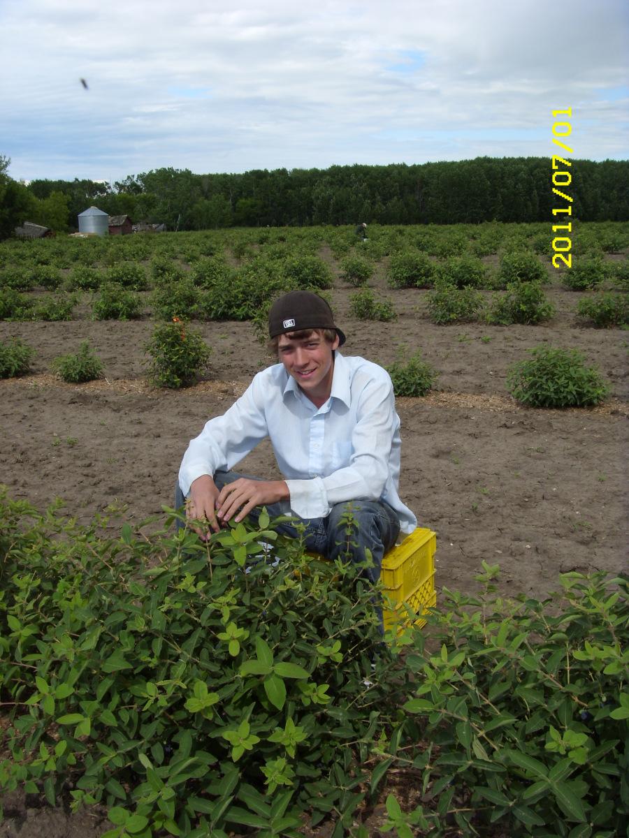 2011-07-01-harvesting-haskap