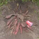 Yacon, délicieuse poire de terre