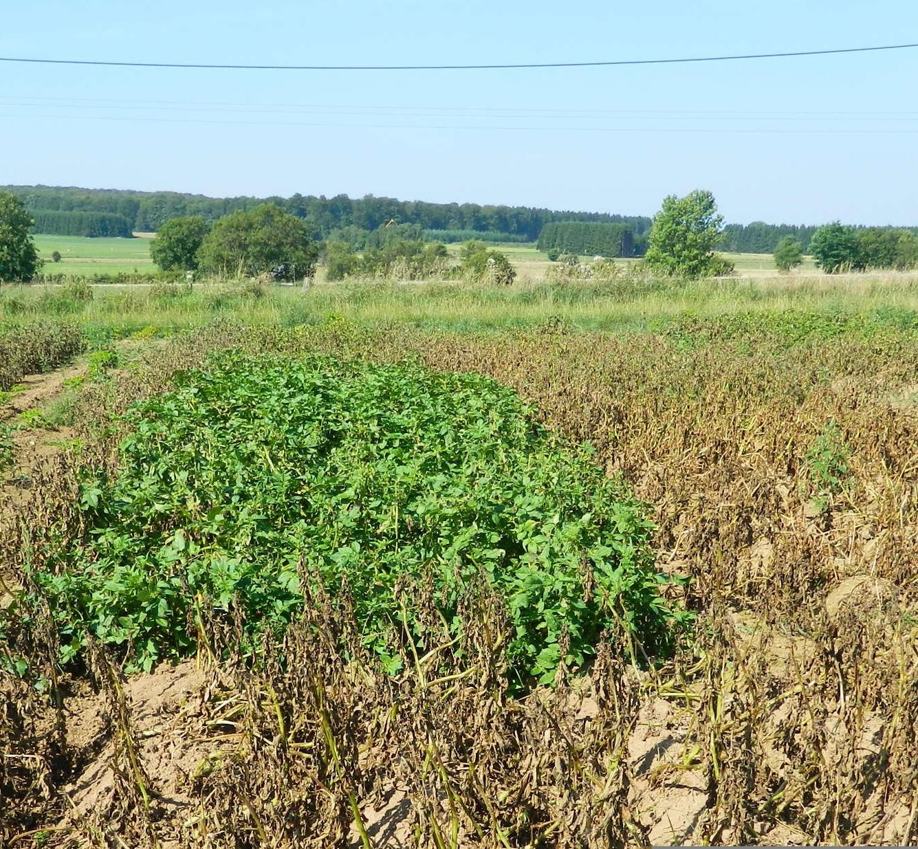 Pommes de terre ultra résistantes au mildiou