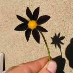 Dahlia noir Ebony Star