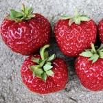 70 variétés de fraises, dont cette Mieze Nova, import Allemagne