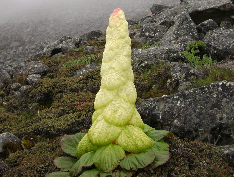 Rhubarbe du Sikkim, jeunes plants bientôt disponibles