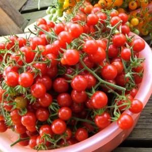 Tomate Matt's Wil Cherry