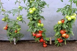 Même variété de tomate, à gauche sur ses racines, à droite greffée. Conduites en 2 bras.
