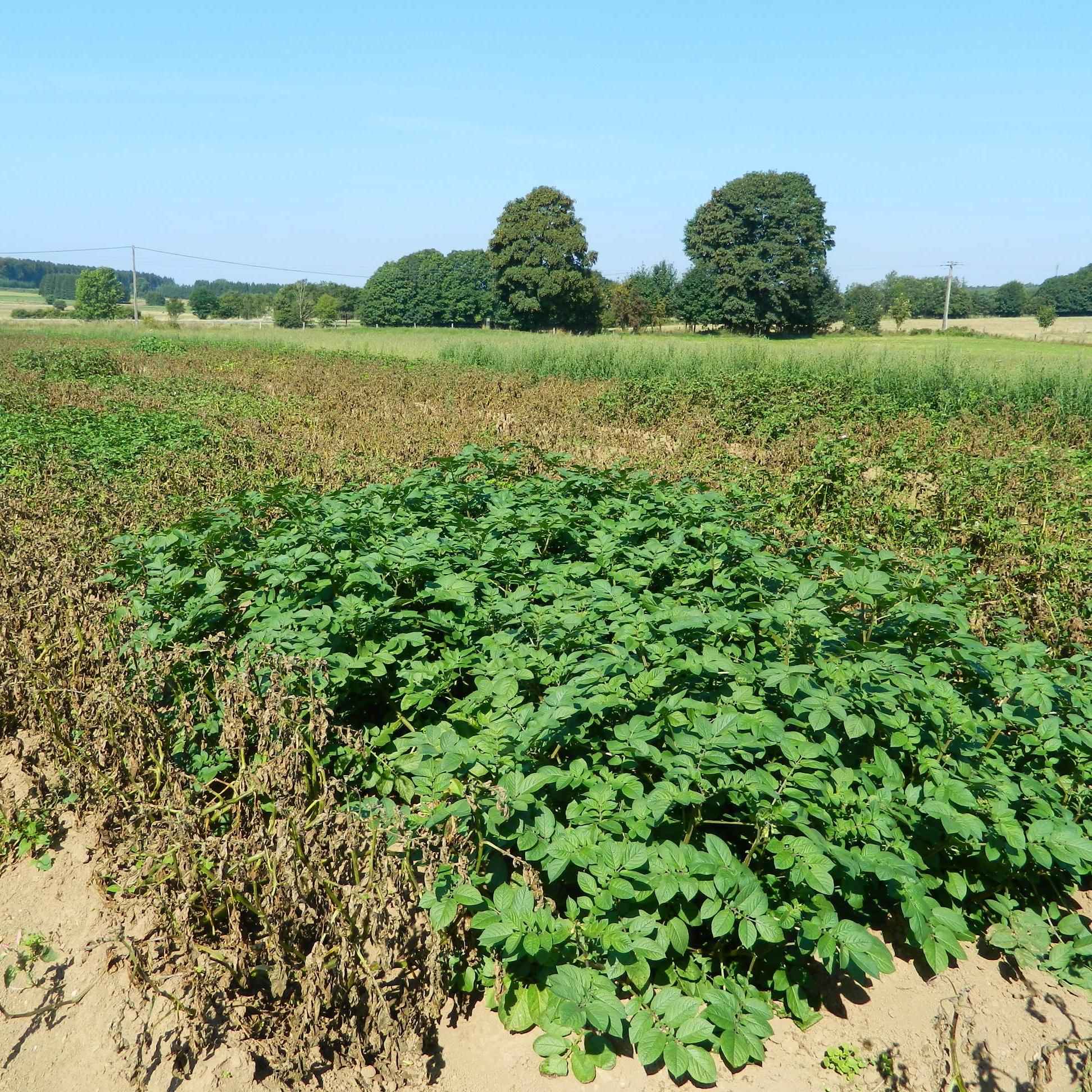 Pomme de terre résistante au mildiou parmi des non résistantes