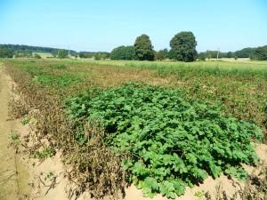 pomme terre résistante mildiou wallogreen.com 2a