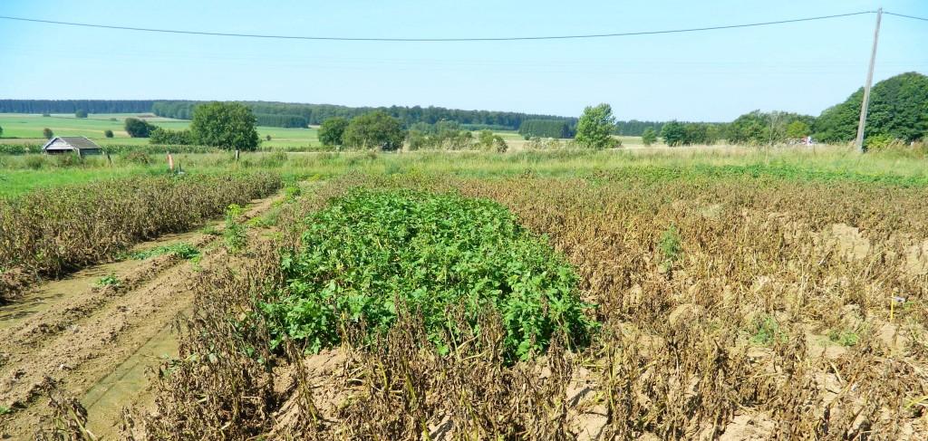 pomme terre résistante mildiou wallogreen.com 2b