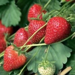 fraisier-charlotte-1