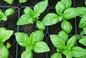Jeune plant en pot individuel