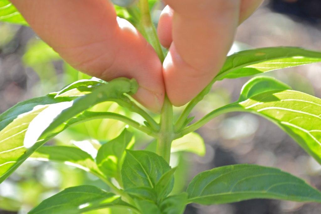 Couper au-dessus d'un étage de feuilles, de jeunes branches poussent déjà à leur base.