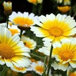 290px-Chrysanth_coronarium