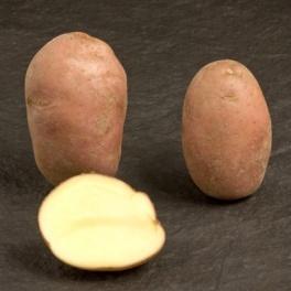 Pomme de terre Sarpo Axona