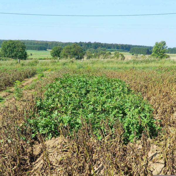 Pomme de terre bionica wallogreen - Date plantation pomme de terre ...