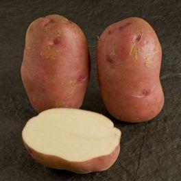 Pomme de terre Sarpo Una