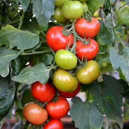 Tomate Crimson Crush F1
